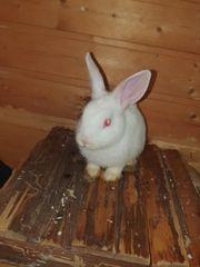 Kaninchen Zwergkaninchen