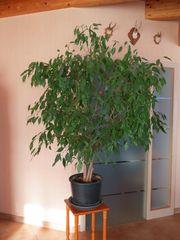 Birkenfeige ficus benjamini 150cm hoch