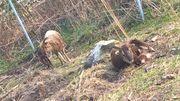Schafe Soay -Hammel und Auen