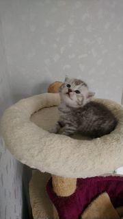 Bkh letzte zwei Kitten