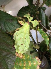 Wandelnde Blätter Phillium Giganteum