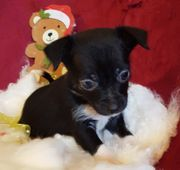 Chihuaha mix welpen