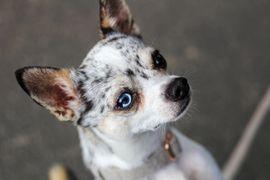 Hunde - Chihuahua Deckrüde Blue Merle