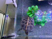 Wasserschildkröte Zierschildkröte