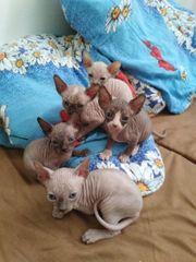 Kanadische Sphynx Kätzchen