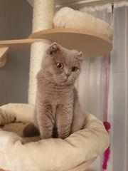 BKH Katze 2 Jahre