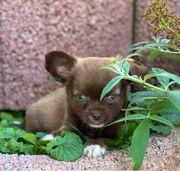 Chihuahua Welpen Schoko Schoko-Tan mit