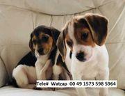 Tri farbige Beagle Welpen jetzt