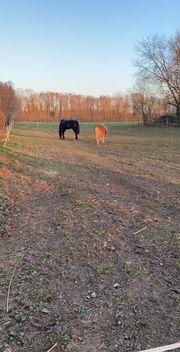 Suche ein Kinderliebes FreizeitPferd