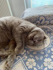 Britisch Kurzhaar Katze Lisa lilac