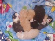 BKH Maincoon Kitten dürfen ausziehen