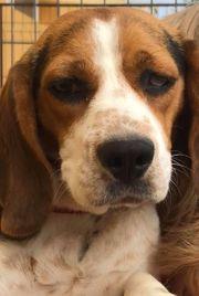 Hope Beagle Mischling sucht ein