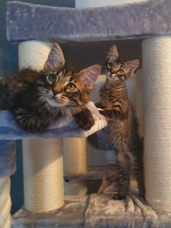 Maine Coon Kitten, XL Vater