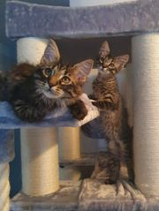 Maine Coon Kitten XL Vater