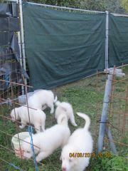 Pyrenäenberghunde Herdenschutzhunde zu verkaufen