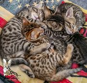 Savannah F5 SBT Kitten Wurfankündigung -