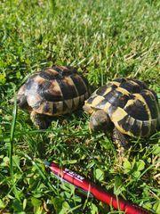 Landschildschildkröten