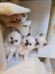 Wurfankündigung Heilige Birma Kitten