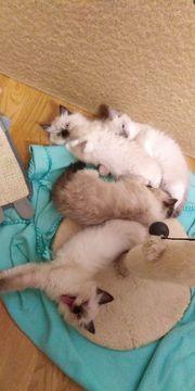 Ragdoll kitten 4 stück 9