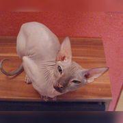 Sphynx Katze sucht ein liebesvolles