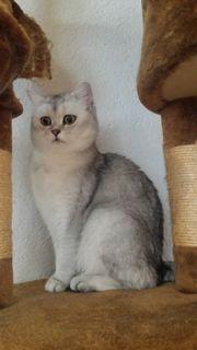 BKH Katze silver
