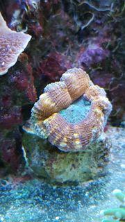 Meerwasser Korallen Ableger ab 5EUR