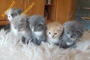 sehr schöne Edelkatzen Mix Kitten