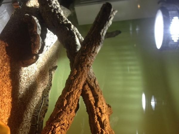 Biete zwei Königspython aus Zucht
