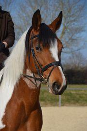 Reitbeteiligung in Niederstotzingen - Pferd sucht