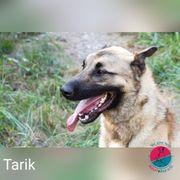 Tarik- Malinois Mix braucht Action