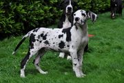 Typvolle Deutsche Doggen