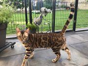 XXL Rosetten Bengal Katze 11