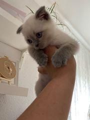 BLH kitten junge abholbereit bkh