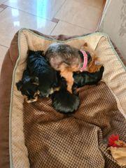 mini Yorkshire Terrier Welpen Ahnentafel
