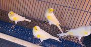 Kanarienvögel-Kanarien Gelbmosaik Hahn