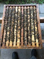 Bienen Jungvölker auf 10 Rähmchen