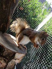 kanadische Rothörnchen Eichhörnchen Babys