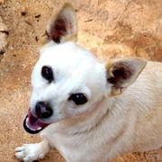 PIMPINA liebe Chihuahua-MIx-Maus
