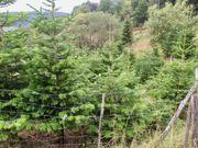 Nordmanntannen Christbäume Weihnachtsbäume