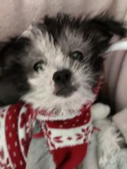 Chinese Crested x Bolonka Welpen