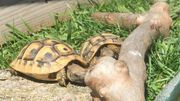 Schildkröten Baby - Griechische Landschildkröten von