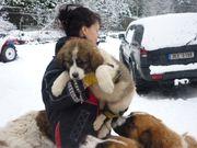 Moskauer Wachhund Welpen
