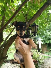 Zwergpinscher Chihuahua Welpe weiblich