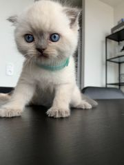 Reinrassige BKH Kitten in Blue