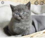 wir suchen BKH kitten