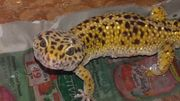 Leopardgecko adult mit Gelbfärbung