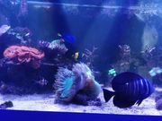 Meerwasser Catalaphyllia jardinei Wunderkoralle XL