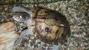 Ouachita Höckerschildkröte