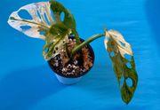 Monstera adansonii aurea- yellow variegata