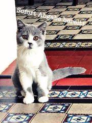 BKH Katze zur Abgabe bereit